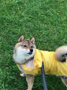 雨の日はカッパを着せて散歩します