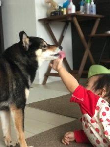 赤ちゃんに付き合う柴犬