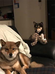 部屋の中でくつろぐ2匹の柴犬