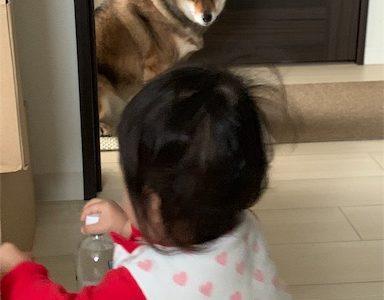 赤ちゃんがいても柴犬を飼うことはできるのかという話