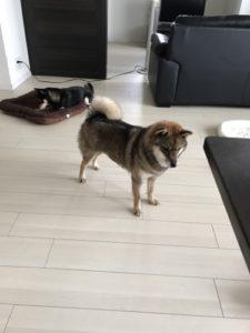 フローリングで滑りながら遊ぶ柴犬