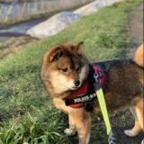 元保護犬の柴犬は3年でこう変わりました。里親になって人間も変わりました
