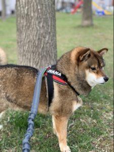 なかなか痩せない柴犬