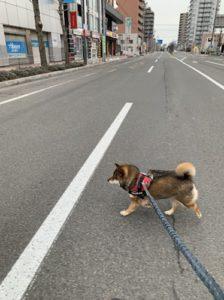 ダイエットのために歩く柴犬
