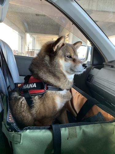 脱走防止のためドライブボックスに乗る柴犬
