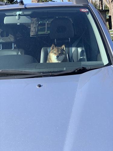 車の助手席で大人しくしている柴犬