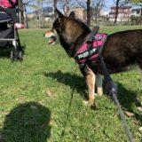 ベビーカーに子供を乗せて犬の散歩。やってみたら大変でしたという話
