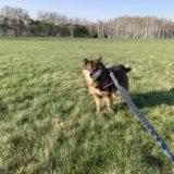 【首周りの肉】柴犬ダイエット成功の秘訣は?散歩や運動は意味ある?