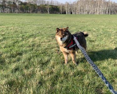柴犬ダイエット体験記。運動や長時間散歩は意味ある?おやつは与えても大丈夫?