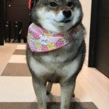 柴犬のシャンプーはどうしている?自宅洗い、お店、ホームセンターそれぞれのメリット