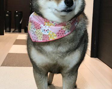 柴犬のシャンプーはどうしている?自宅洗い、お店、ホームセンターの経験談