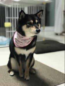 スカーフを巻く柴犬の写真