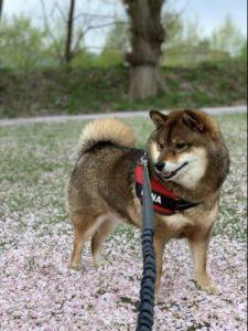 桜の下でほほ笑むぽっちゃり犬