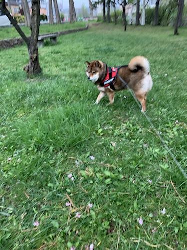 「flexi フレキシ 伸縮リード」で自由に動き回る柴犬