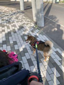 ベビーカーを押しながら柴犬と散歩