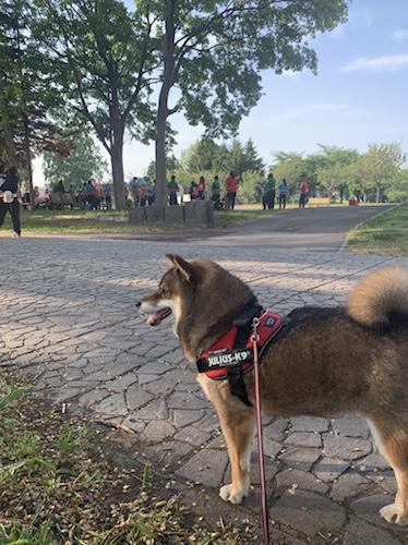 公園を散歩する柴犬