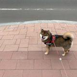 柴犬の減量と食事について