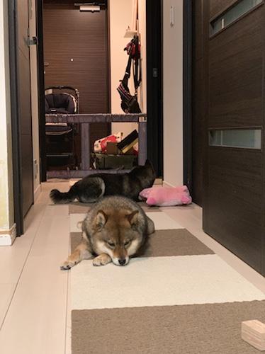 脱臭機が稼働する部屋でくつろぐ2匹の柴犬