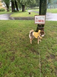 柴犬は家でトイレをしないので雨の日も外で散歩をしている様子