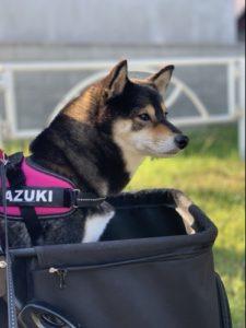 ペットカートで散歩へ行く柴犬