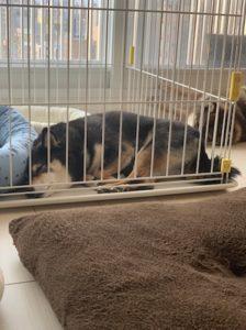 ベットで一人静かに寝る柴犬