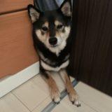 足を引きづっていたら要注意!柴犬のヘルニア体験談と再発予防についての話