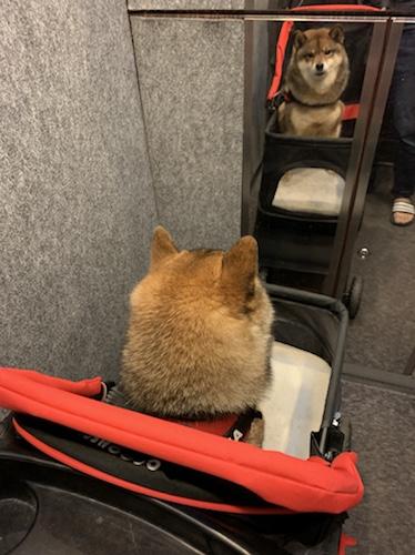 ペットカードでエレベーター内を移動する柴犬