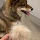 【2020おすすめブラッシング用品まとめ】柴犬の換毛期対策をしよう!
