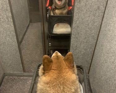 【抜け毛】2019年柴犬とマンションで暮らす。確認すべきこととおすすめの家電や犬用品のまとめ【エレベーター】