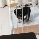 柴犬の室内飼いにケージ(ゲージ)は必要か?4年間経過してわかったこと。