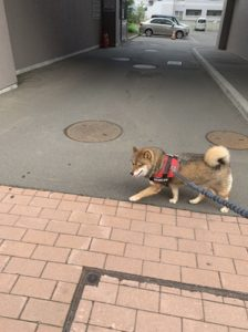 飼い主が風邪でも散歩をする柴犬