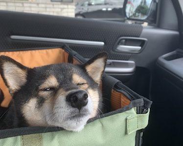 【予想外?】はじめて柴犬を飼ってみてわかったこと【トイレは外?】