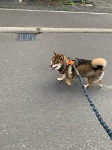 Rabbitgoo 犬 ハーネスでスムーズに散歩をする柴犬