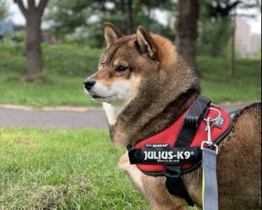 【2021年】あずはなが使っている、柴犬におすすめのハーネス!