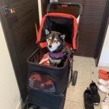 【室内飼い】マンションで柴犬を飼った感想と体験談