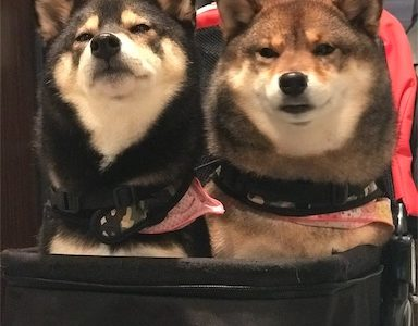 【甘えん坊バギー!多頭用 ペットカートレビュー】犬の移動が圧倒的に楽なる【低価格】