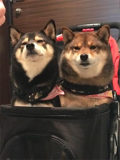 ペットカートに2頭の柴犬が無理やり乗る様子