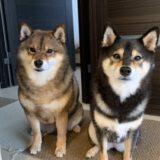 【ケンカは?散歩は一緒?】柴犬を多頭飼いの体験談【ケージはどうする?】