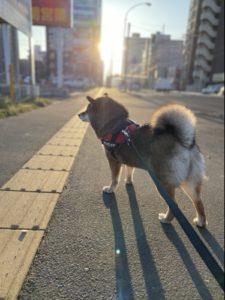 自由で輝く柴犬