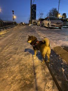 散歩をする柴犬