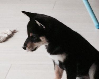 犬の室内飼いに無印良品の「壁に付けられる家具」が役立つという話