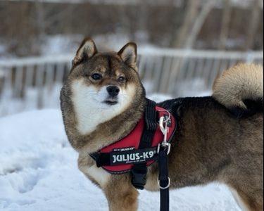 柴犬あずはなAmazonセールのペット用品を語る