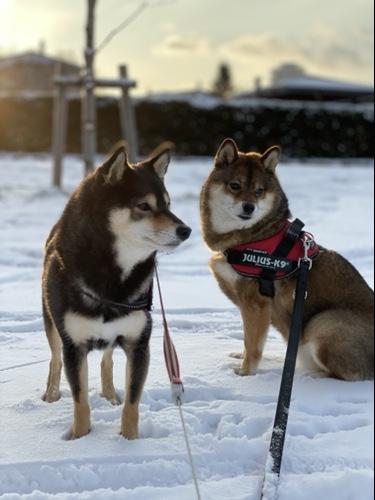 雪の中の黒柴と胡麻柴