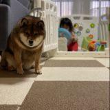 【海外のことわざ】子どもが産まれたら犬を飼いなさいは正しいのか。経験してみてわかったこと。