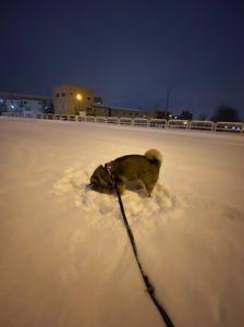 雪に顔をうずめる柴犬を夜に撮影
