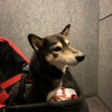 iPhone11超広角モードだけで撮影した柴犬の散歩