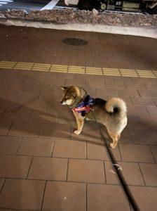 ユリウスのアメリカンハーネスをつけて悠然と立つ柴犬