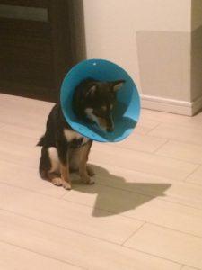 避妊手術後の浮かない顔の柴犬