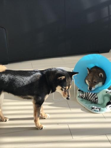 避妊手術をした相棒を気遣う柴犬