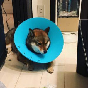 避妊手術後エリカラをつける柴犬